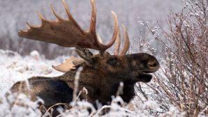 В Могилевской области браконьеров, убивших лося, нашли по следам на снегу