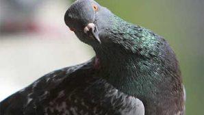 В Австралии голубь повеселил прохожих танцем под аккомпанемент уличного музыканта