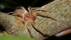 Ученые открыли нового ядовитого паука в Африке