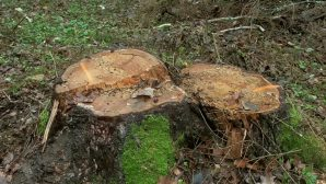 Житель г. Узды незаконно вырубил полсотни елей