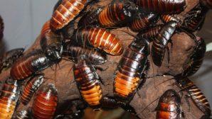 В КНР выращивают тараканов для уничтожения мусора